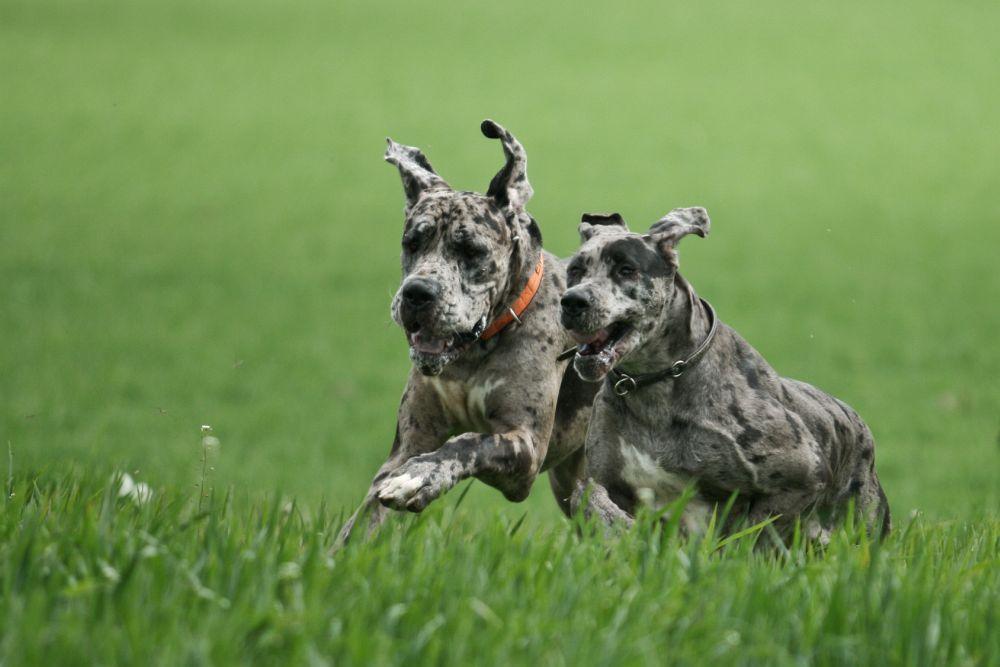 Dogge Hündin oder Dogge Rüde kaufen?
