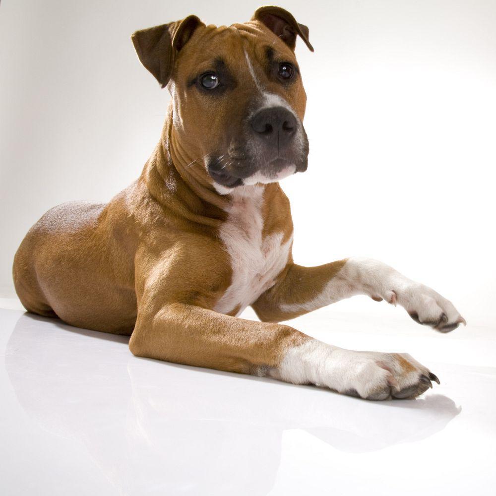 Sind Dogge Hybride reinrassige Hunde?