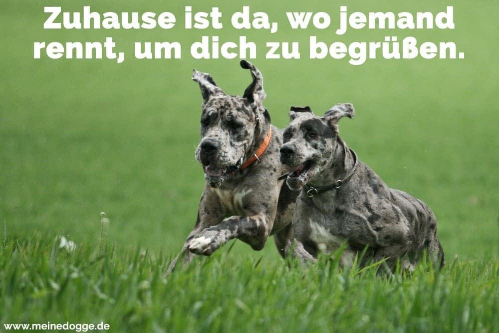 Zwei Doggen rennen