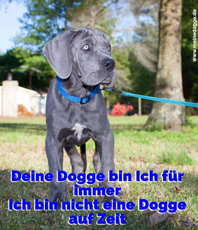 Eine Dogge mit einem blauen Kragen