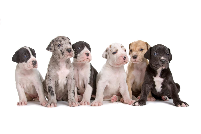 Gesunde Dogge Welpen - Tipps wie Du die richtigen Welpen findest!