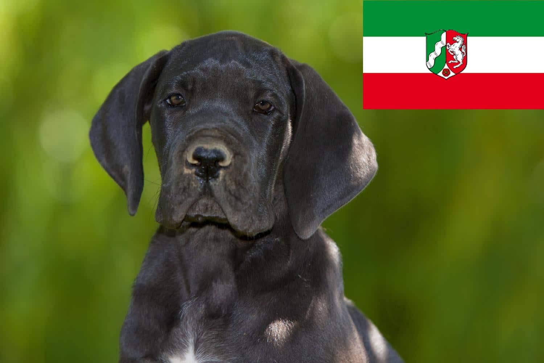 Dogge Welpen in NRW, Nordrhein-Westfalen