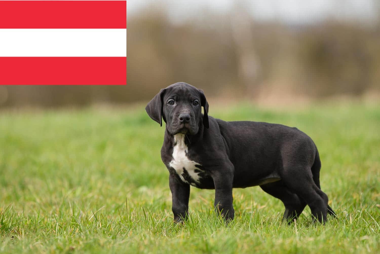 Dogge Welpen in Österreich