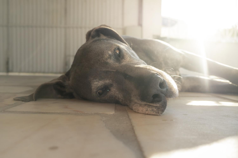 Dogge in Not, aus dem Tierheim oder Tierschutz